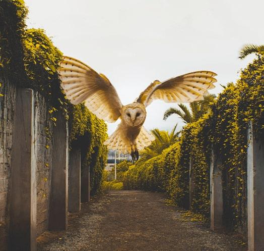 sagace owl